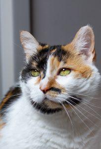 a calico cat