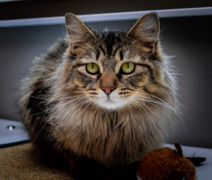 tabby cat with long hair
